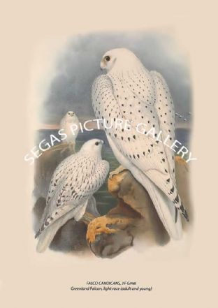 FALCO CANDICANS, J F Gmel Greenland Falcon, light race (adult and young)